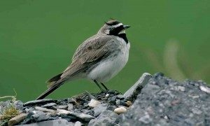 caucasian-horned-lark-the-sound-approach