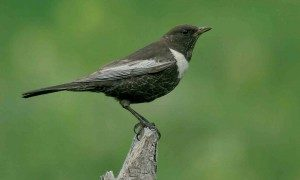 caucasian-ring-ouzel-the-sound-approach