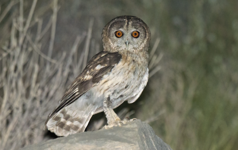 omani-owl-the-sound-approach