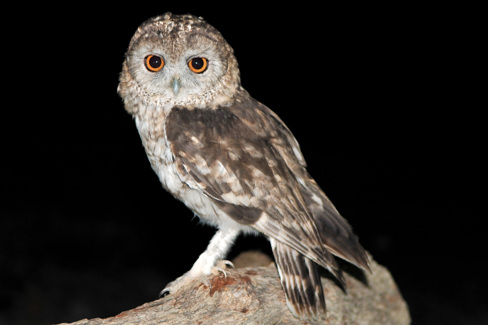 unravelling the mystery of the omani owl the sound approach